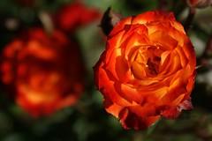 ~a heavenly colorful colorado rose~ (^i^heavensdarkangel2) Tags: rose canon garden colorado multicolors durango mothernature motherearth bokehrose heavensrose desbahallison heavensdarkangel2 ihda~desbahallison