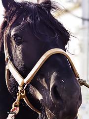 Image093 (Miguel Tavares Cardoso) Tags: horse animais cavalo 2014 migueltavarescardoso