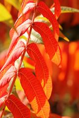 Rhus 2 (gripspix (OFF)) Tags: leaves herbst autumncolors bltter staghornsumac autumnseries rhushirta herbstfrbung essigbaum 20141004