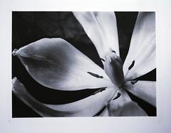 tulip (chrisnze) Tags: platinum palladium