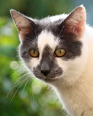 Tinkerbell (Buggers1962) Tags: pet face animal closeup cat canon eyes feline close bokeh pussy pussycat moggie canon7d hellopussycat
