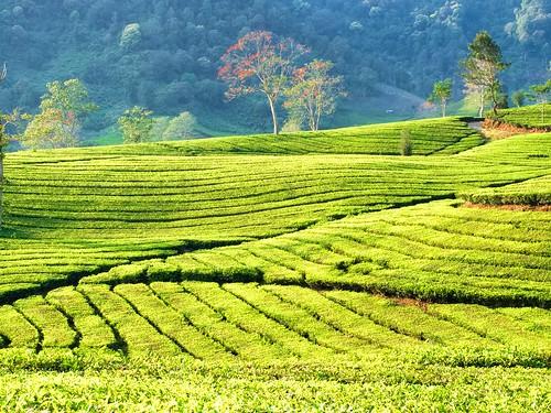 PA120026, Tea plantation