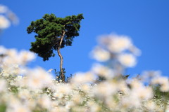 a Happy Pine (HDH.Lucas) Tags: tree nature lucas cannon oine