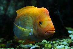 Aquarium #5 ⭐ (Franco Gavioli) Tags: 2016 fragavio francesco gavioli canoneos600d canonef50mmf18ii sicilia sicily siracusa syracuse acquario aquarium fish pesce ortigia fontearetusa platinumheartaward