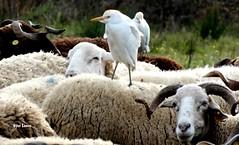 À boleia... (verridário) Tags: mondego animal nature naturaleza sony campos countryside pecora schaf 羊 feld champ boss bird ave oiseau natura natureza