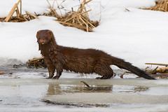 Mink (Somuchtwosay) Tags: 200500mm d500 spring mink wildlife nature outdoors wild animal nikon nikkor nj mammal cute newjersey snow ice wet neovison vison americanmink neovisonvison