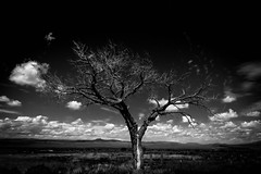 Tree (Daxis) Tags: newmexico santafe southwest summer taos tree us usa