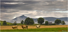 Bennachie Beasts and a Cottage_1087[Explored] (The Terry Eve Archive) Tags: bennachie mithertap cow beasts barley hill mountain crops grain farming agriculture cottage moor aberdeenshire scotland
