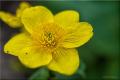 KingCup (Missy2004) Tags: nikkorafsmicro85mmi35ged hilliergardens romsey wildflower flower yellow marshmarigold kingcup
