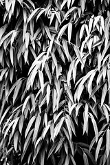 Was This Your Celebrated Summer (Thomas Hawk) Tags: grandwailea hawaii maui wailea waldorfastoria waldorfastoriagrandwailea bw fav10