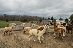 medina-7711 (FarFlungTravels) Tags: alpaca animal farm medinacounty onefineday shear wool