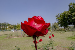 Roses............ (Rambonp:loves all creatures of this universe.) Tags: roses rosegarden chandigarh flowers yellow wallpaper red white trees green nature park day india paradise blue canon landscape rosegardenchandigarh punjab plantssky clouds tourism chandigarhtourism punjabtourism rosefestival2017chandigarh