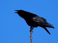 Raven Calling (starmist1) Tags: raven calling treetotree black bluesky backyard march snowmelt warmer sunshine spring