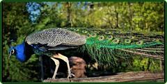 Peacock/Paon(2) (Ioan BACIVAROV Photography) Tags: peacock paon bird birds color colourful bacivarov ioanbacivarov bacivarovphotostream interesting beautiful wonderful wonderfulphoto nikon journalism photojournalism