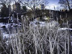 Somewhere down in the weeds (C@mera M@n) Tags: centralpark city gapstowbridge manhattan ny nyc newyork newyorkcity newyorkphotography places thepond urban winter outdoors