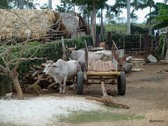 20170310 (josejuanmiranzo) Tags: buey ox caribe caribean cubadigna cuba trawel viaje foto fotografia photo photography canon canonista canonist 365 365project jjmiranzo