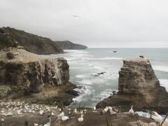 Gannet colony (Baractus) Tags: murawai australasian gannet colony john oates new zealand