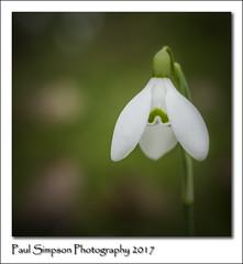 Single Snowdrop (Paul Simpson Photography) Tags: snowdrops snowdrop whiteflowers flower nature naturalworld sonya77 photosof photoof imagesof imageof paulsimpsonphotography february2017 flowerphotography photosofflowers