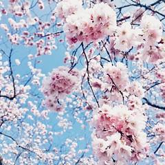 Volop genieten van de bloesem #snapseed #iphone #blossom #bloesem #lente #spring