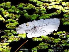 Folha (Sophie Carrière) Tags: folha água verde natureza planta
