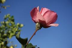 DSC08270 (snecko2012) Tags: roses rosebuds