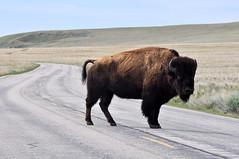 Bison crossing the east road (Great Salt Lake Images) Tags: spring morning bison antelopeisland greatsaltlake utah