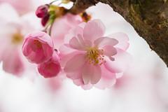 Pink blossom (Infomastern) Tags: alnarp blom blossom pink rosa spring vår exif:model=canoneos760d exif:aperture=ƒ45 geocountry camera:make=canon exif:isospeed=100 camera:model=canoneos760d exif:lens=ef100mmf28lmacroisusm exif:focallength=100mm geostate geocity geolocation exif:make=canon