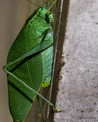 KatydidForkedTail-4760-2-2 (3) (tealwoodlabs) Tags: green insect katydid bug forkedtail