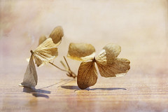 Before the Spring (Elisafox22 slowly beating the Shingles!) Tags: elisafox22 sony ilca77m2 100mmf28 macro macrolens telemacro 52in2017 week12 depthoffield hydrangea dead driedflowers dried wintered textures texturaltuesday htt stilllife twigs elisaliddell©2017