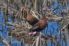 Black Belly (Jim Johnston (OKC)) Tags: brazorianationalwildlifearea texas blackbelliedwhistlingduck birds birdwatching