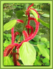 Katzenschwanz / AcalyphaHispida (Martin Volpert) Tags: katzenschwanz acalyphahispida mavo43 blüte blumen flor cvijet kvet blomster flower floro õis lore kukka fleur bláth virág blóm fiore flos žiedas zieds bloem blome kwiat floare ciuri flouer cvet blomma çiçek pflanze