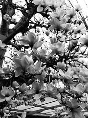 2017年3月16日 (atmo1966) Tags: digitalphotography canon canonpowershots90 blackandwhite tokyo kokubunji