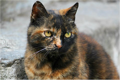 Happy Friday 17 (Simply Viola) Tags: gato gatto katze kot feline animal felino animale pet
