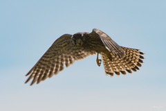 Kestrel ♀ (Shane Jones) Tags: kestrel birdofprey bird birdinflight raptor nature wildlife nikon d500 200400vr tc14eii