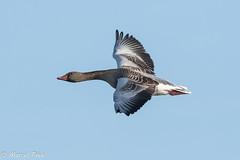 Biesbosch - Goose Free Flight (CapMarcel) Tags: biesbosch goose geese duck canadian nikon d500 500mm