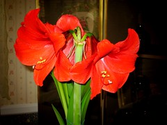 Homegrown Amaryllis (joeclin) Tags: 2000s northamerica america unitedstates usa newyork ny nassaucounty longisland li hempstead franklinsquare canonpowershotsd500 indoor color amateur flower amaryllis red joelin joeclin