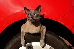 Stowaway (Apionid) Tags: moriarty cat chat gato katze tonkinese car wheel wheelarch nikond7000 exceptionalstupidity