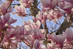 Danse autour du magnolia 20/22 (Emmanuel Cattier -) Tags: magnolia fleur plante tree fleursetplantes flower flowering arbre arbreenfleur france strasbourg alsace grandest floraison lumière printemps cattier emmanuelcattier manusoft