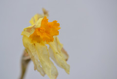 It is Finished (MTSOfan) Tags: daffodil finished withered blossom dying pastprime macro flower