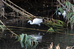 Ready to strike (mcgin's dad) Tags: ibiza santaeulalia bird egret reflections river canon450d
