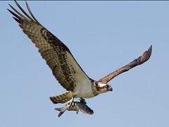 IMG_2042 Ospreys have returned (cmsheehyjr) Tags: cmsheehy colemansheehy nature wildlife bird osprey hawk fishhawk rappahannock virginia pandionhaliaetus