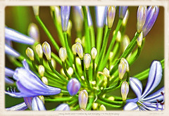 Agapanthus -- Lily of the Nile (NancySmith133) Tags: agapanthus lilyofthenile aprilflowers godsgarden frontyardgardens centralfloridausa springflowers painterly