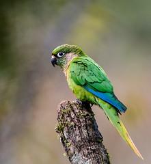 Maroon Bellied Parakeet-1973.jpg (donnatopham) Tags: brazil itororo maroonbellied parakeet