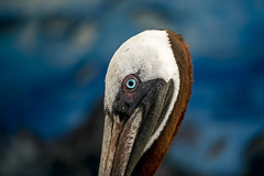 Galapagos (DROSAN DEM) Tags: pelican pelicano ayora puerto santa cruz island isla galapagos ecuador desenfoque bokeh color ave bird pajaro
