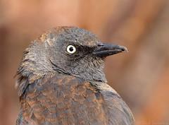 Rusty Blackbird (Nick Saunders) Tags: rustyblackbird blackbird portrait headshot birding bird birds saskatchewan saskatoon canada