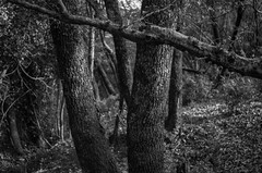 tufa hill forest (ΞSSΞ®®Ξ) Tags: ξssξ®®ξ pentax k5 angle 2017 plant outdoor countryside kepcorautowideanglemc28mm128 forest monochrome blackandwhite tree trunk branches tufahill thevalleyofhorses woodland