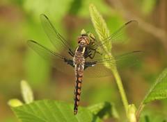 Blue Corporal (Ladona deplanata) Male (Rezamink) Tags: bluecorporal ladonadeplanata dragonflies odonata usa