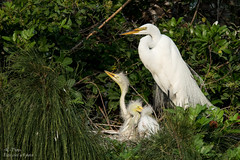 Hey, Ma,  It's Getting A Little Crowded In Here! ............ I Think We Need A Bigger Place! (ac4photos.) Tags: egret greategret family baby nature wildlife bird animal florida nesting naturephotography wildlifephotography animalphotography birdphotography nikon d500 tamron150600mm ac4photos ac