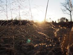 Long grass at sunset (pilechko) Tags: dukefarms hillsborough nj sunset nature outdoors grass light evening