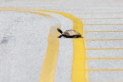 Turtle Crossing (Maggggie) Tags: turtle 365 road street crossing reptile black shell brown animal yellow